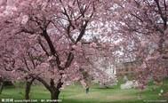 爱在樱花季